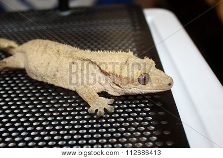 Crested Gecko in Cage