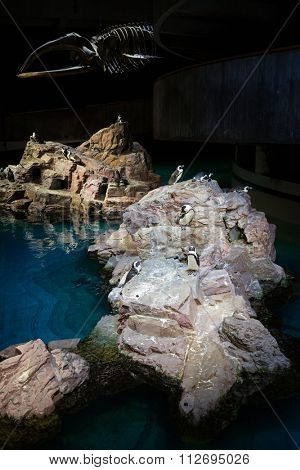 USA, BOSTON -?? 06 SEP, 2014: Many penguins are standing on the island near skeleton at the New England Aquarium.