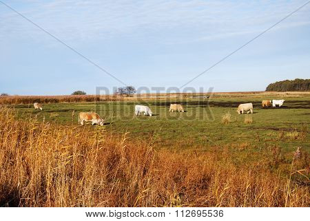Grazing Cattle In A Sunlit Marshland