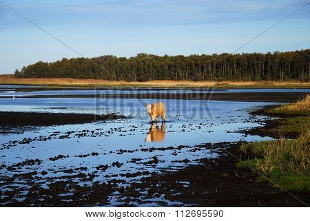 Cow Walks In A Muddy Water