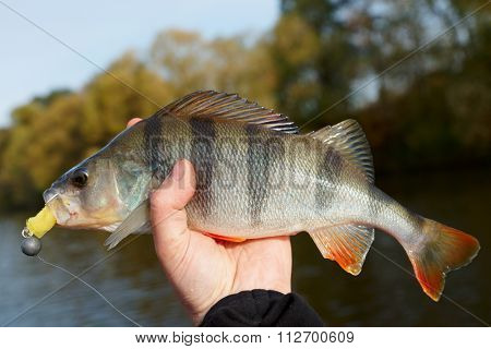 Perch caught on sunny autumn day