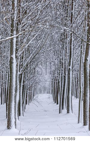 Snow Lined Trees In Rows.