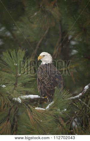 Perched Bald Eagle.
