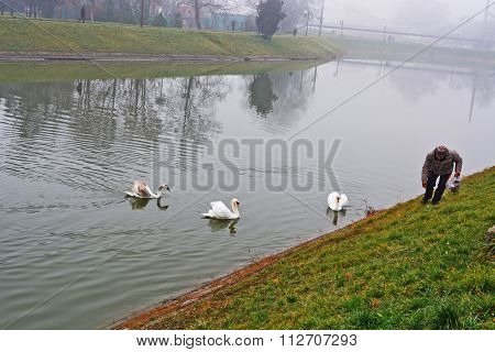 Swans Defend Their Territory