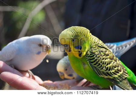 Small Funny Budgies