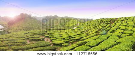Panoramic View Of Tea Farm With Morning Sunlight