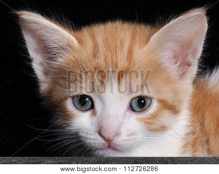 The muzzle small kitten large. White with red kitten