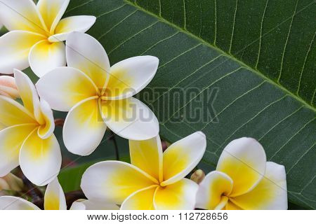 White Frangipani Tropical Flower, Plumeria Flower Blooming On Tree, Spa Flower