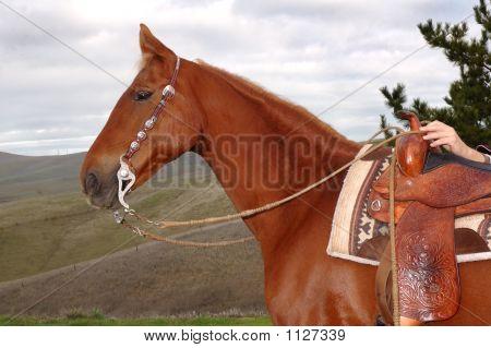 Saddlebred 2