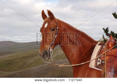 Saddlebred 4