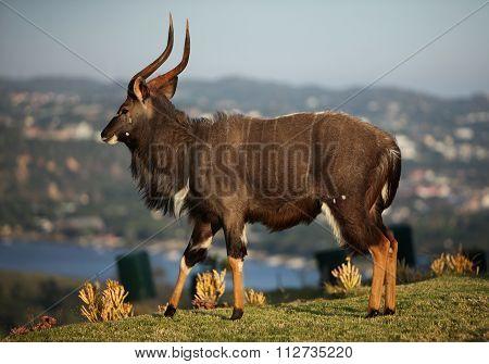 Nyala African Buck Walking