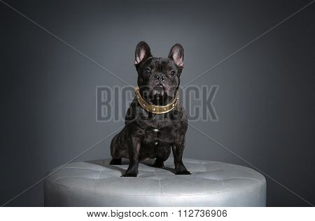 French Bulldog with Golden Collar