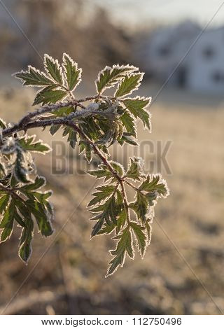 Frosted Bramble Bush In Winter