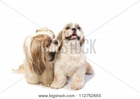 Two Shih-tzu Mom's Care About Her Fun Puppy