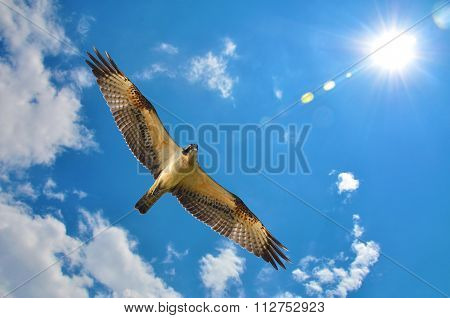 Osprey With Blue Sky Clouds And Sun