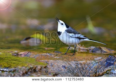 White Wagtail Bird