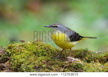 Grey Wagtail Bird