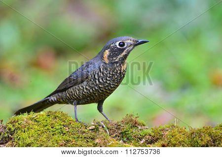 Chestnut-bellied Rock-thrush Bird