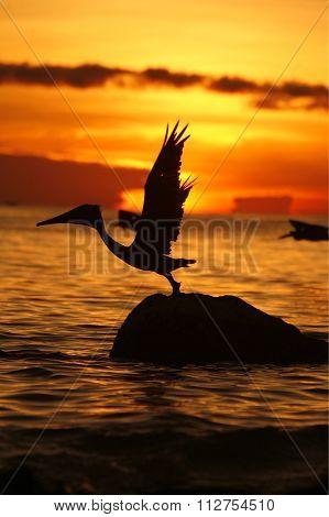 South America Venezuela Los Roques Seabirds Pelican