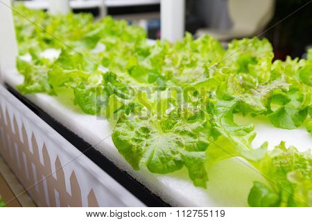 Lettuce cultivated in hydroponic system
