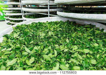 Fermentation of tea in factory