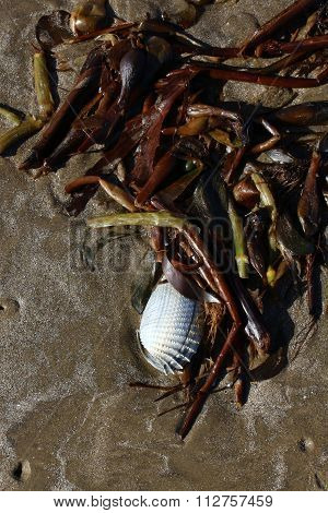 Anglewing clam in seaweed