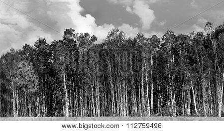 Stand Of Trees In The Wetlands