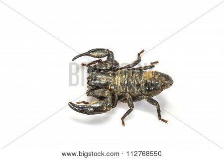 Scorpion ( Pandinus Imperator) On White Background
