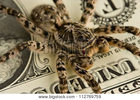 Macro Of Spider Over Dollar Bank Note
