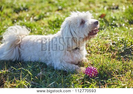 Havanese Dogs Playing Outdoor