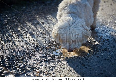 Havanese Dog Drinking Water From A Puddle