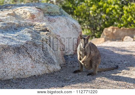 Rock wallaby in Australia