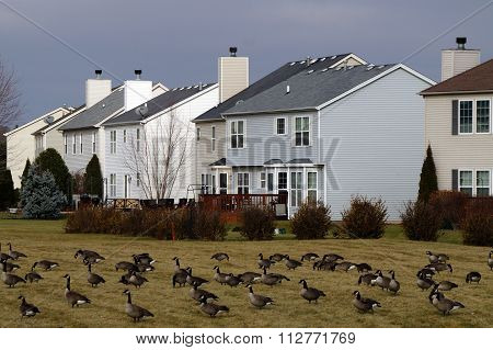 Flock of Migrating Geese