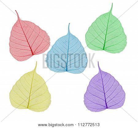 Colorful Sceleton Leaves Bodhi , Macro, Isolated On White