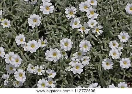 Jaskolka Felt (Cerastium tomentosum)