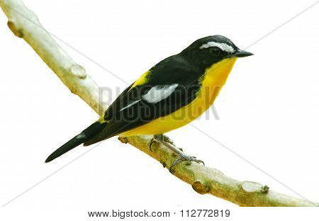 Bird In Nature, Yellow-rumped Flycatcher Perching On A Branch