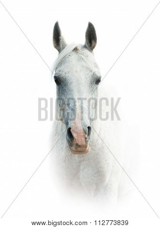 White Arabian Horse Over A White Background