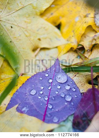 Purple Leaf On Yellow Leaves In Raindrops In Autumn