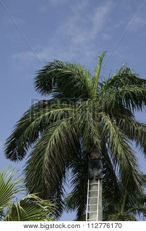 Trimming The Palm Tree