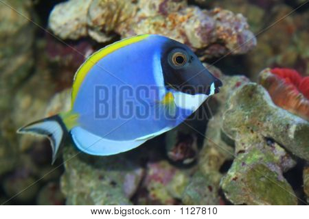 Acanthurus Leucosternon, Tropical Fish