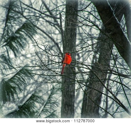 Dreaming of Spring - A Bright Red Saint Louis Cardinal In Snowy Winter