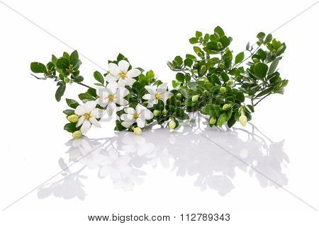 Set of branch gardenia flower
