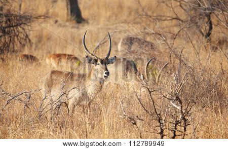 wild kudu in kruger national park.