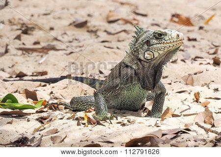 Adult land iguana On A Beach