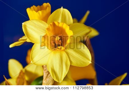 Yellow daffodil flower in spring