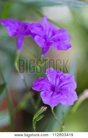 .ruellia Tuberosa Flower
