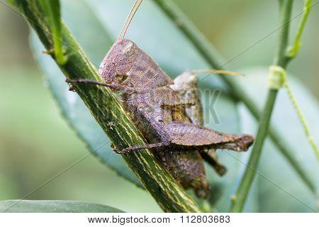 Breeding Of Adult Grasshopper