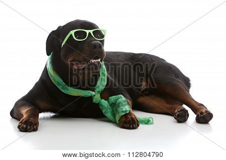 St Patrick's Day Rottie