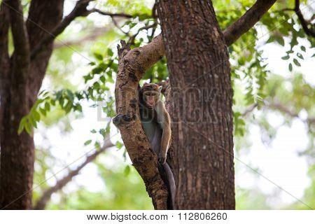 Toque Macaque Monkey