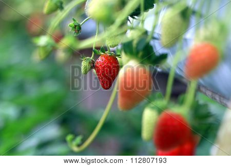 Strawberry Ready For Picking